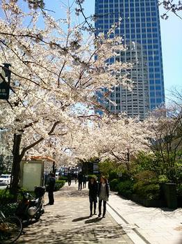 011_満開の桜.jpg
